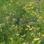 Wilde bloemen in het RivierPark Maasvallei: excursie met MaasVerkenner