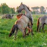 Grote grazers in actie: excursie met MaasVerkenner