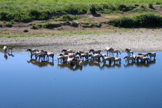 Konikpaarden in Roosteren